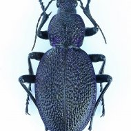 střevlík Carabus (Procerus) scabrosus ssp. bureschianus