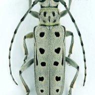 kozlíček (Saperda perforata) ex larva