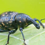 klikoroh devětsilový (liparus glabrirostris)
