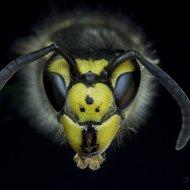 vosa útočná (Vespula germanica)
