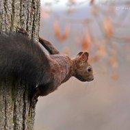 veverka obecná (sciurus vulgaris)