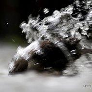 skorec vodní (cinclus cinclus)