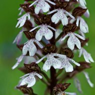 vstavač nachový (orchis purpurea)
