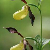 střevičník pantoflíček (cypripedium calceolus)