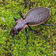 střevlík Carabus (Platycarabus) irregularis ssp. irregularis