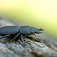 roháček kozlík (dorcus parallelipipedus)