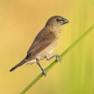 ptáci Srí Lanky